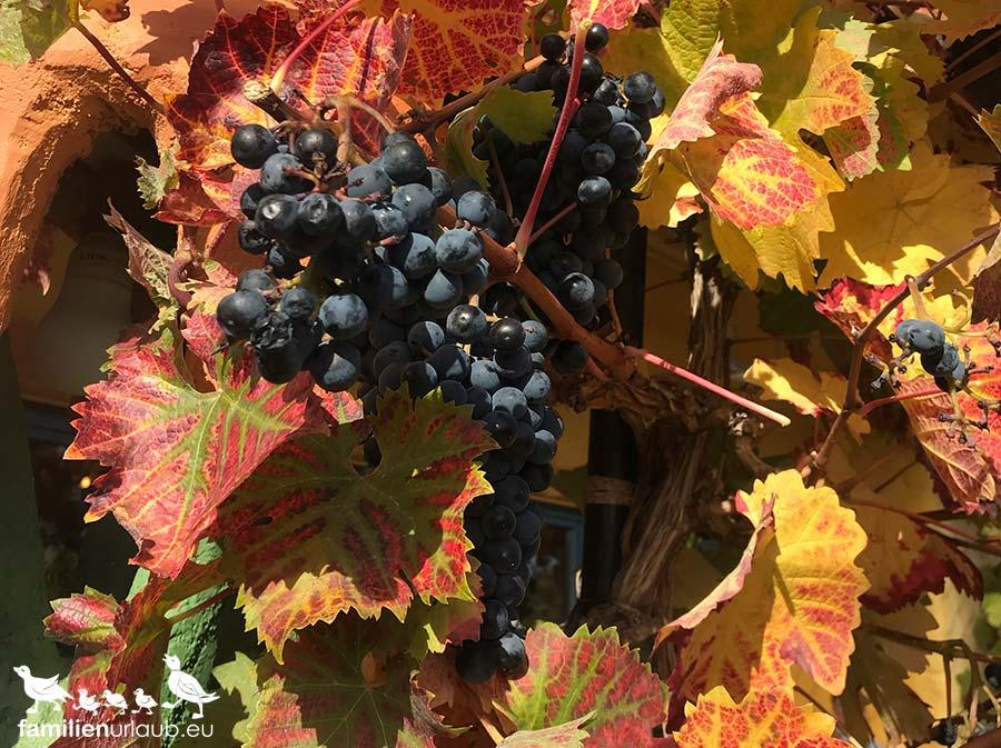Herbstblätter Weintrauben