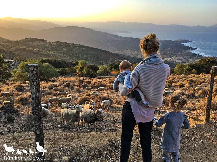 Schafe Korsika