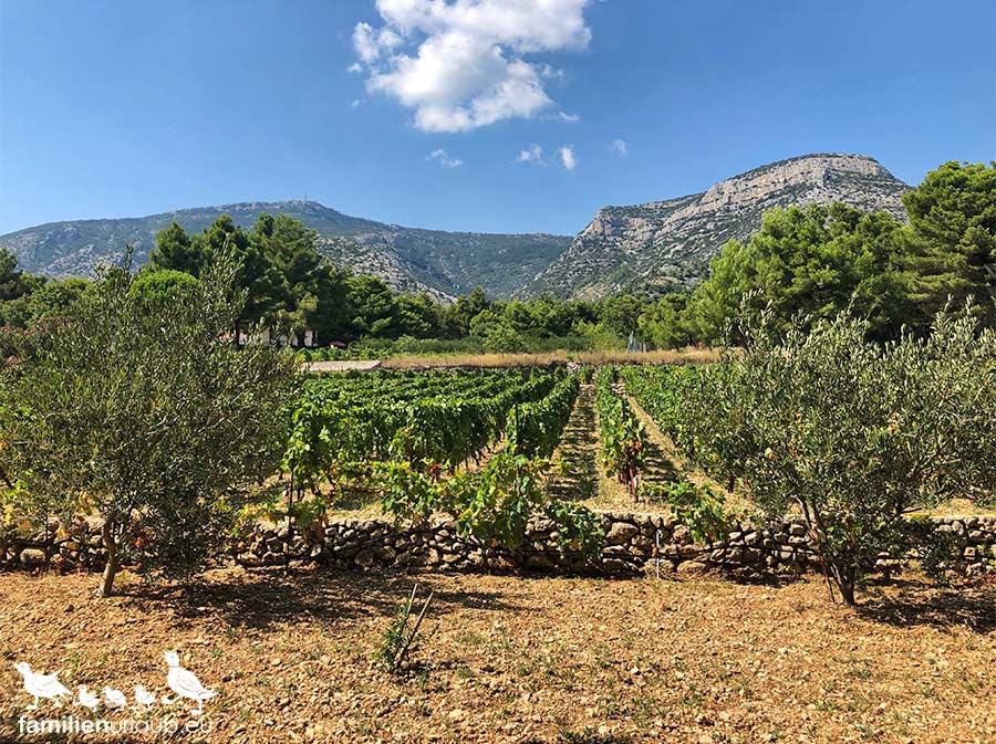 Weinreben Kroatien